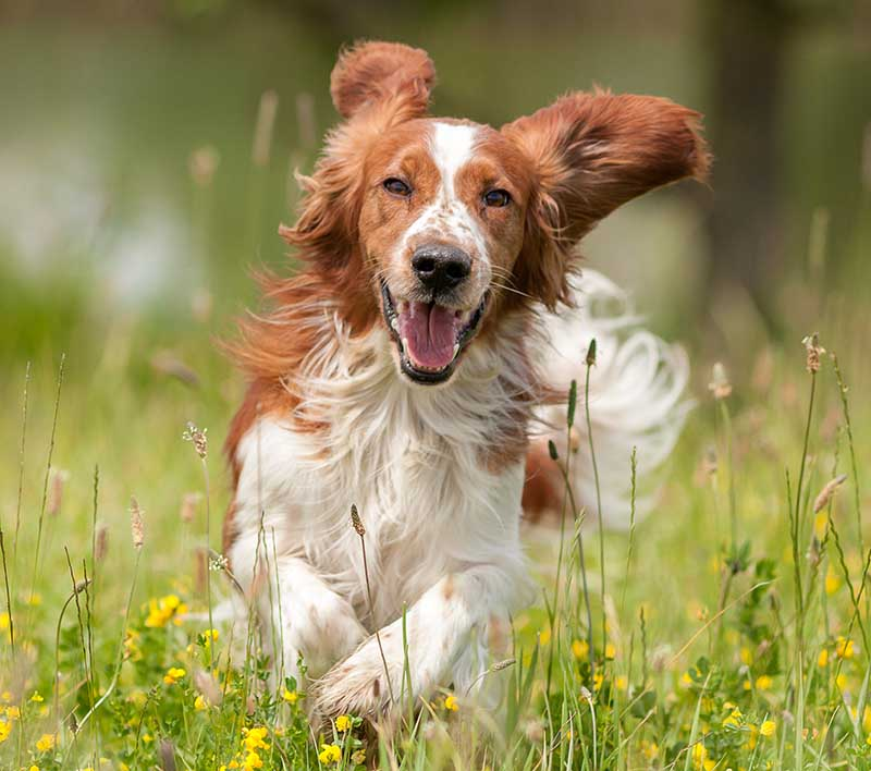 Happy Dog Running in a Field