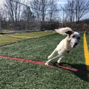Dog running at Diggity Dawg Daycare in Wernersville, PA.