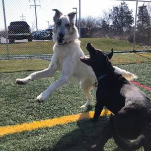 Two dogs playing outside at Diggity Dawg Daycare in Wernersville, PA.
